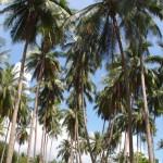 In Samui gibts viele Palmen