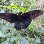 Nochn Schmetterling