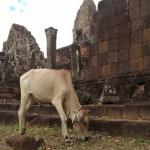 Tempel-Kuh